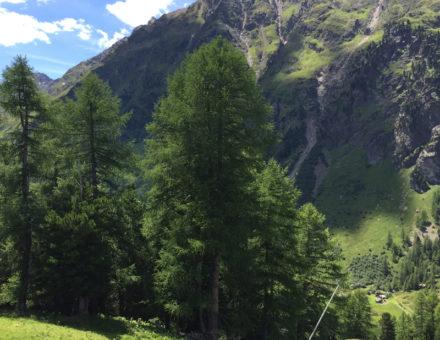 Zirbenbäume in den österreichischen Hochalpen mit Blick ins Tal